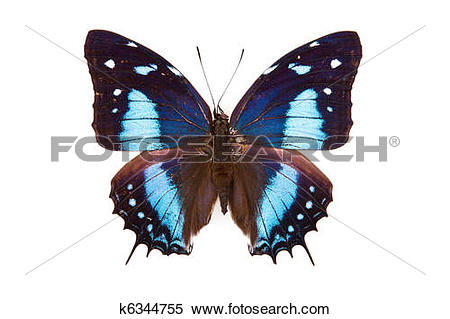Stock Image of Black and blue butterfly Baeotus japetus isolated.
