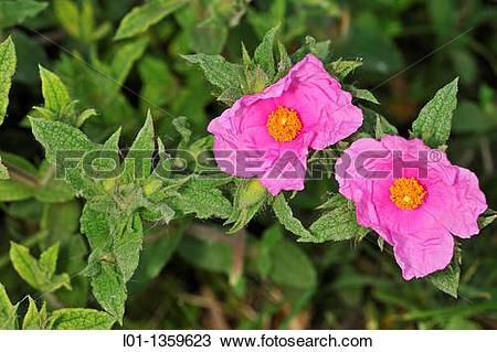 Stock Photo of Jara Cistus crispus l01.