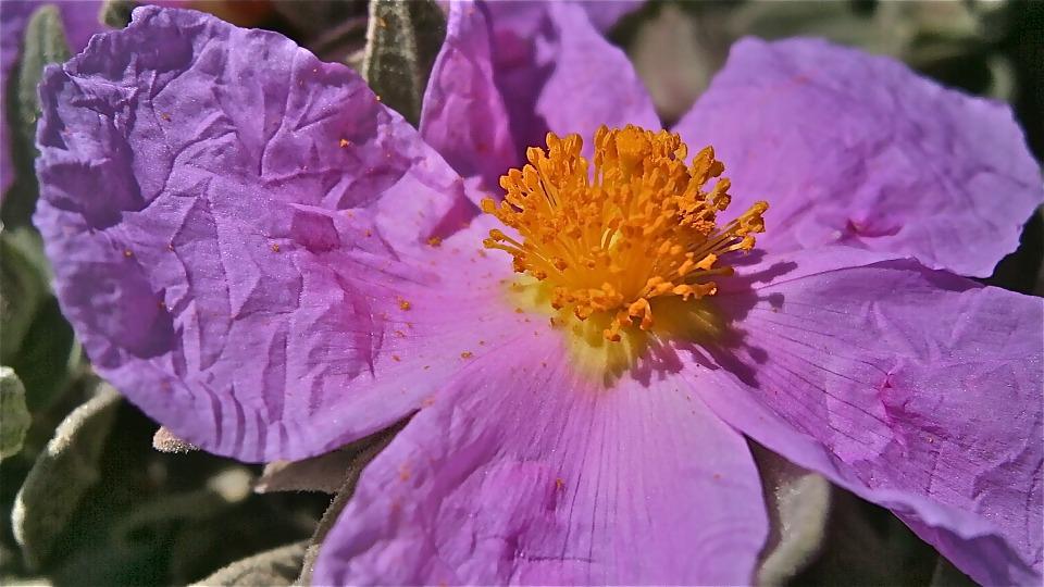 Free photo: Flower, Jara, Steppe, Purple.