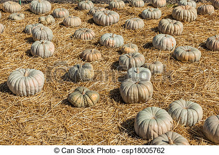 Stock Image of Jarrahdale Pumpkin is flattened like Cinderella but.