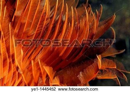 Stock Photo of Bright yellow Feather Duster Worm (Sabella.