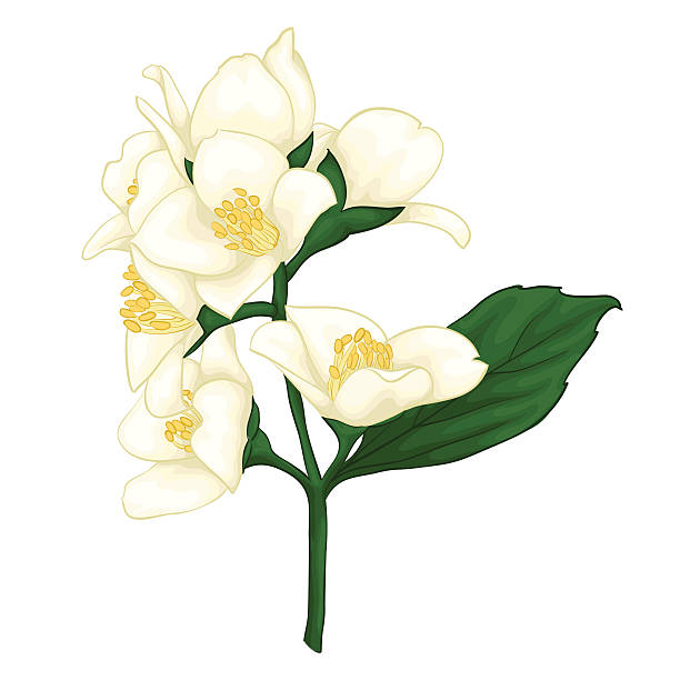Jasmine flower clipart 3 » Clipart Station.