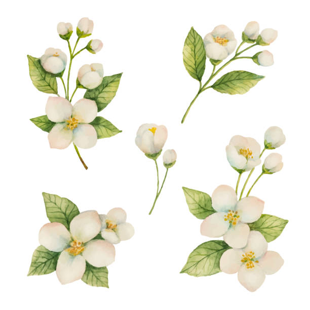 Best Jasmine Flower Illustrations, Royalty.