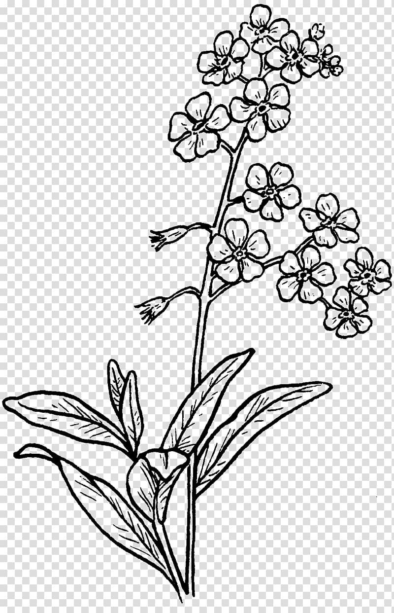 Drawing Myosotis scorpioides Sketch, jasmine flower.