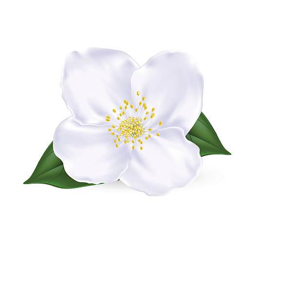 Jasmine Flowers Clipart.