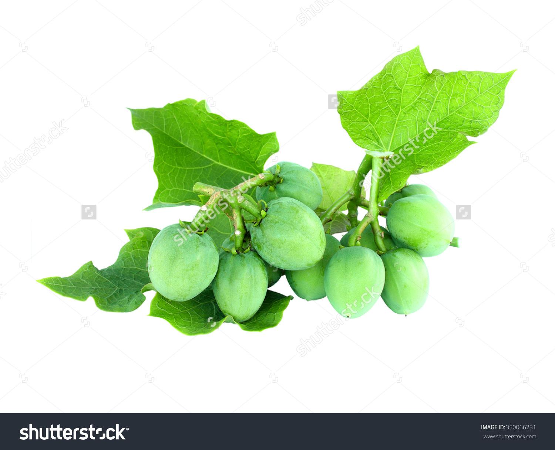 Physic Nut Jatropha Curcas L On Stock Photo 350066231.