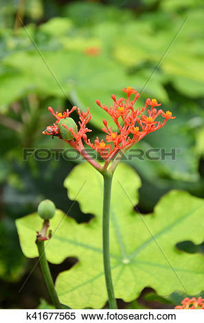 Stock Image of Beautiful local Thai herbs, Jatropha podagrica.