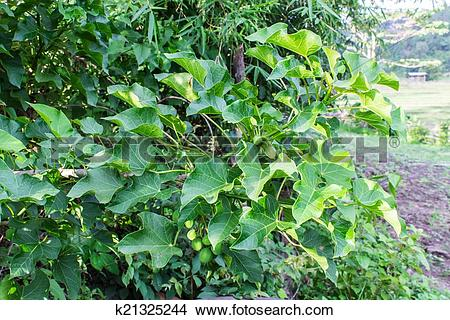 Stock Photo of Jatropha curcas k21325244.