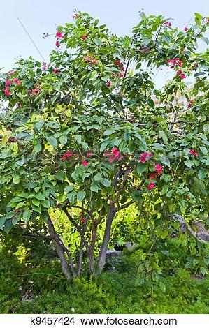 Stock Photo of Jatropha Tree k9457424.