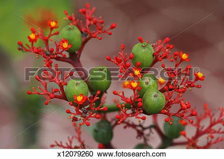 Stock Photography of Jatropha podagrica x12079260.