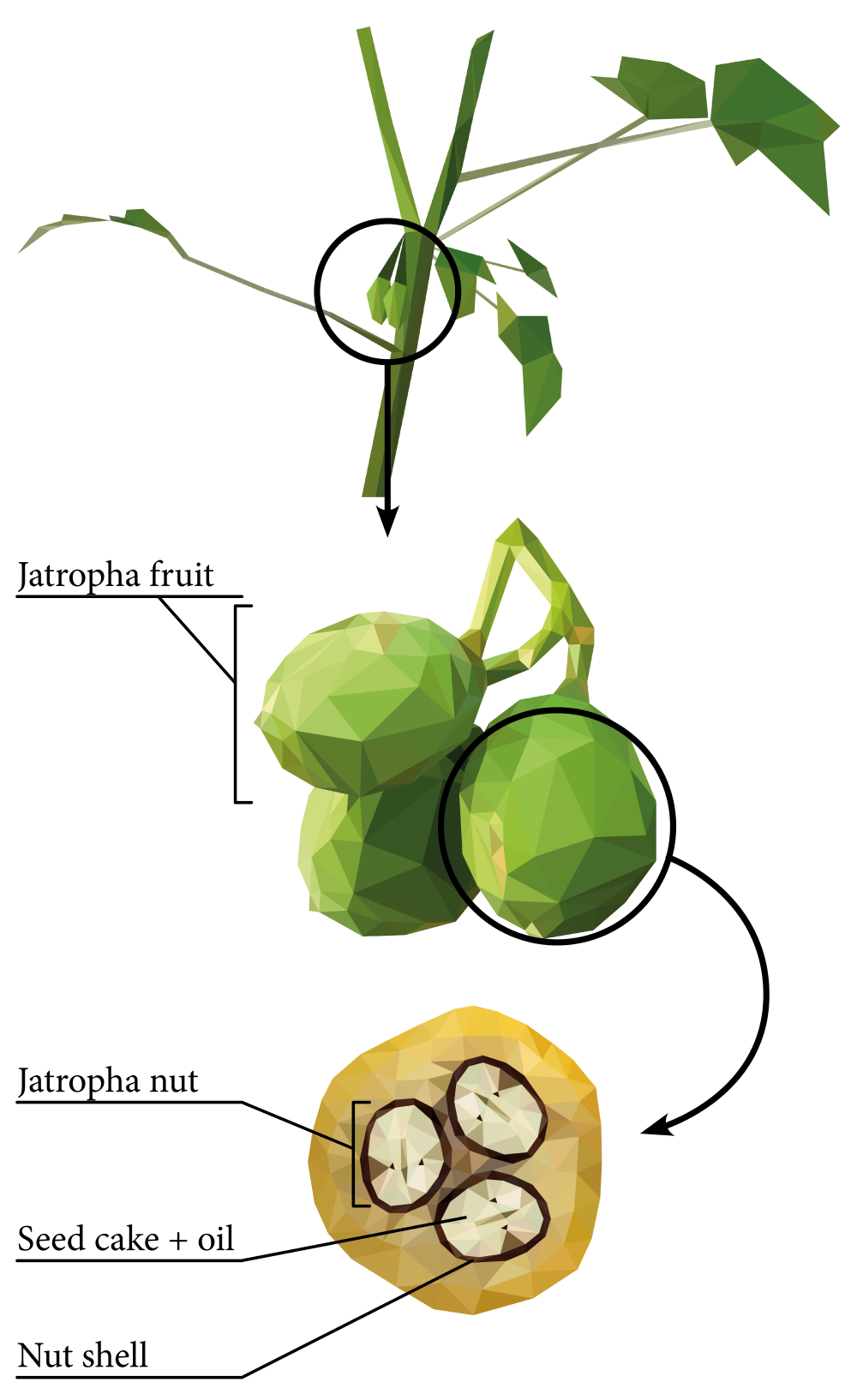 Jatropha and its applications.