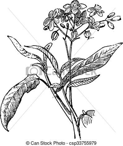 Vectors Illustration of Physic Nut or Jatropha sp., vintage.