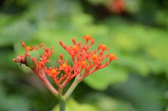 Beautiful Local Thai Herbs, Jatropha Podagrica Stock Photo.
