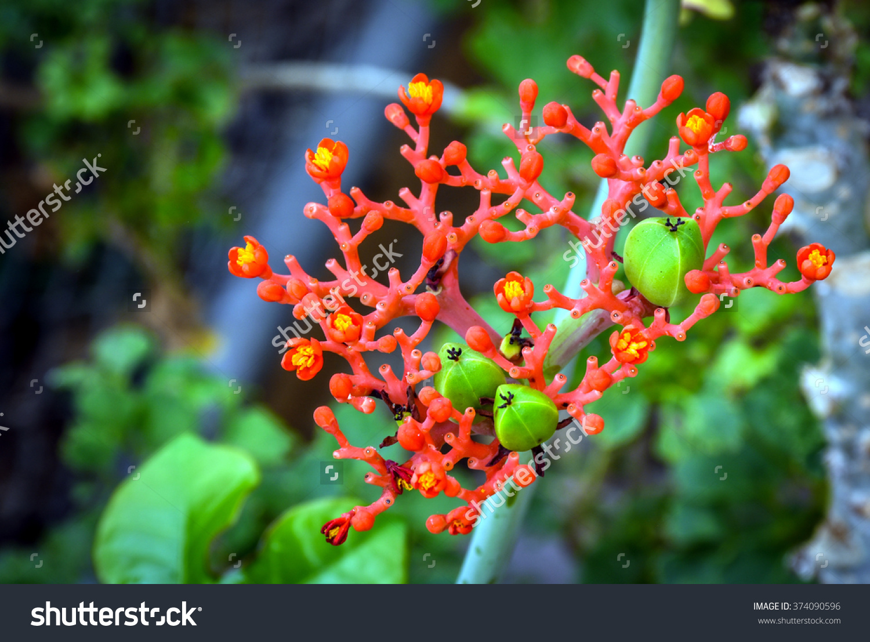 Beautiful Local Thai Herbs, Jatropha Podagrica Hook.F., Fresh.