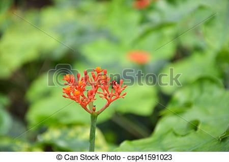 Stock Photo of Beautiful local Thai herbs, Jatropha podagrica.