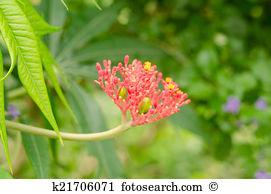 Jatropha podagrica Stock Photo Images. 24 jatropha podagrica.