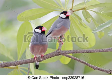 Stock Photography of Java sparrow Java finch Lonchura oryzivora.
