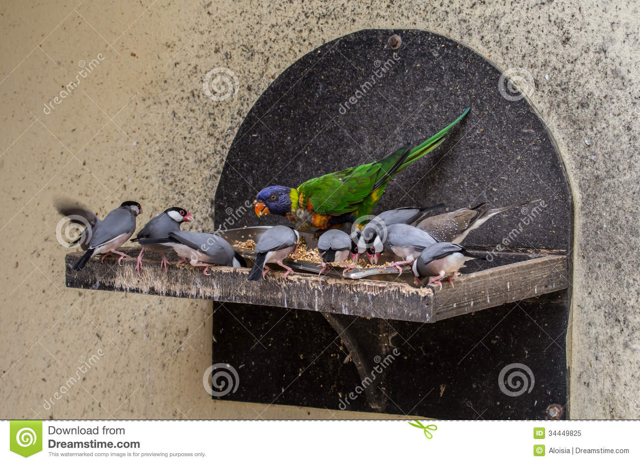 Java Sparrow And All Color Lori Royalty Free Stock Photo.