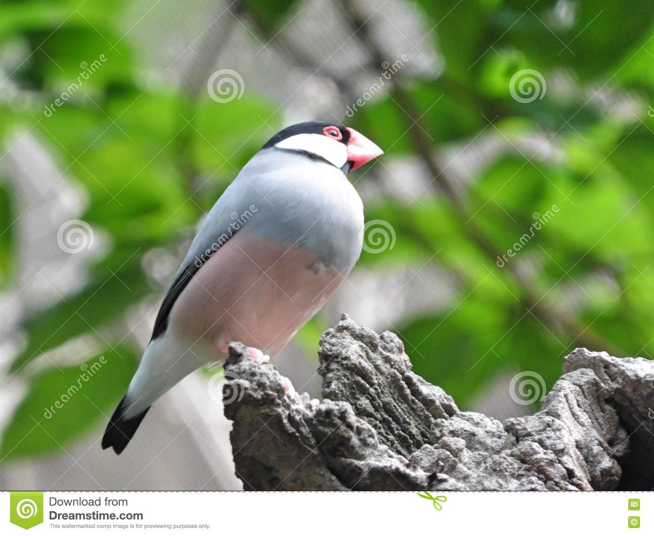 The Java Sparrow Bird Royalty Free Stock Image.