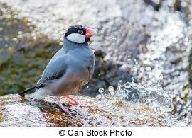 Stock Photos of Java sparrow Java finch Lonchura oryzivora Bird.