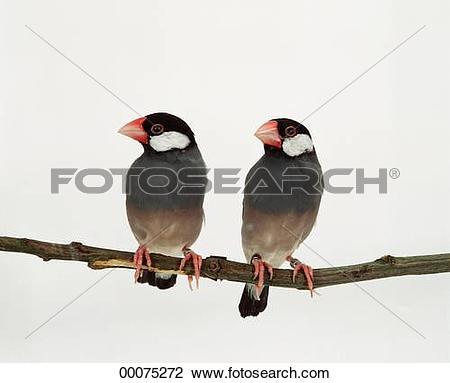 Stock Photo of Java, Java sparrow, Java sparrows, Juniors, Padda.