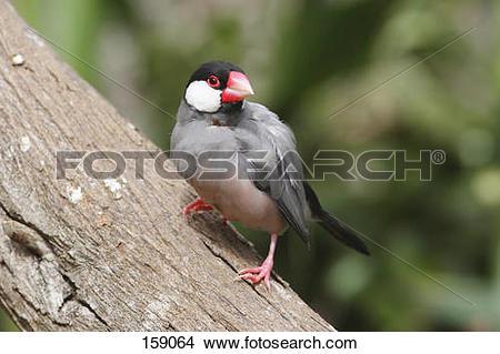 Stock Photo of Java Sparrow on a tree trunk / Padda oryzivora.