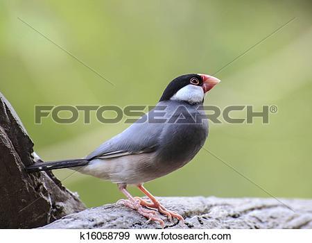 Stock Photograph of Java Sparrow bird k16058799.