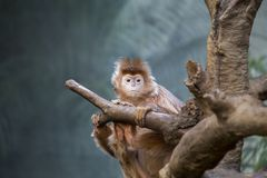 Javan Lutung Stock Photos, Images, & Pictures.