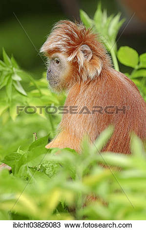 """Stock Photo of """"Eastern Javan Lutung or Spangled Ebony Langur."""
