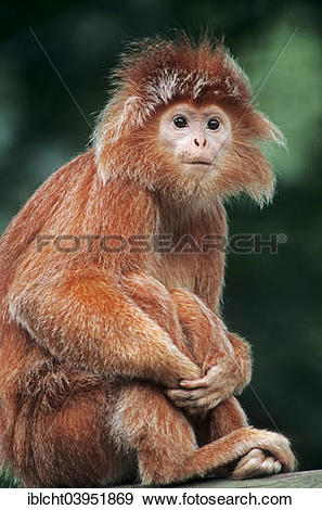 """Stock Photograph of """"Eastern Javan lutung or spangled ebony lutung."""