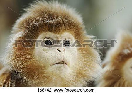 Stock Photo of Eastern Javan Lutung.