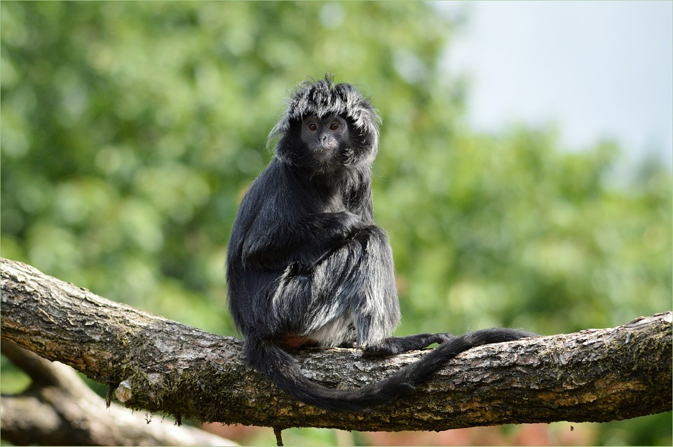 Free photo: Ape, Monkey, Javanese Langur.