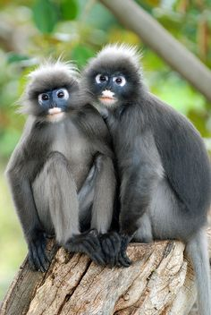 rancois's leaf monkey: Photo by Photographer hans peters:).