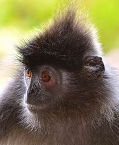 Germain's langur (Trachypithecus germani).