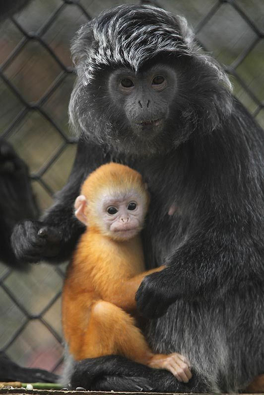 1000+ images about Apes and Monkeys on Pinterest.