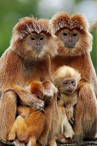 1000+ images about Monkeys: Snub Nosed Monkeys, Colobus, Langurs.