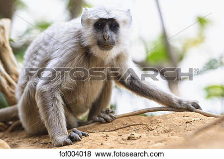 Pictures of India, Uttarakhand, Gray langur at Jim Corbett.