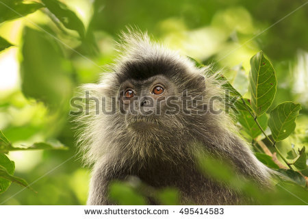 Lutung Stock Photos, Royalty.
