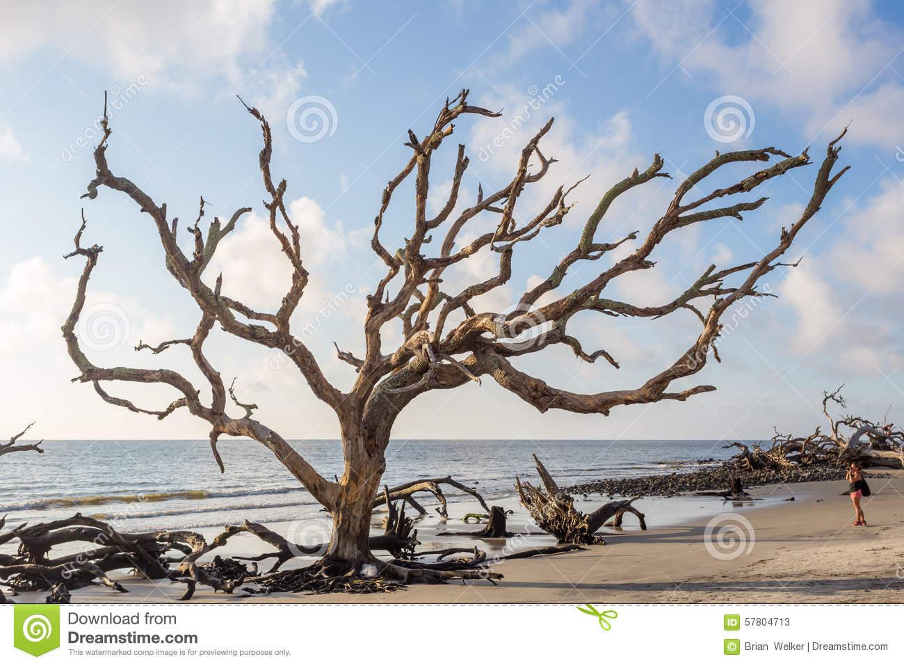 Driftwood Beach, Jekyll Island Georgia Stock Photo.