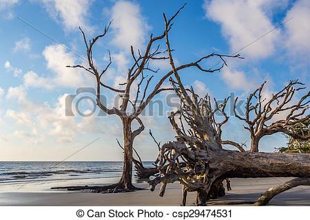 Stock Photos of Driftwood Beach, Jekyll Island Georgia csp29474531.