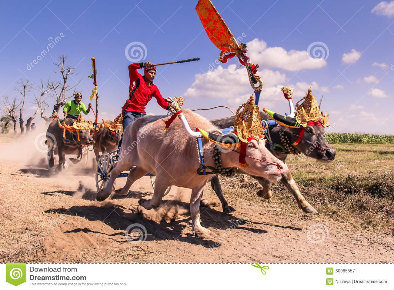 Buffalo Race Makepung In Bali Negara Jembrana Editorial.