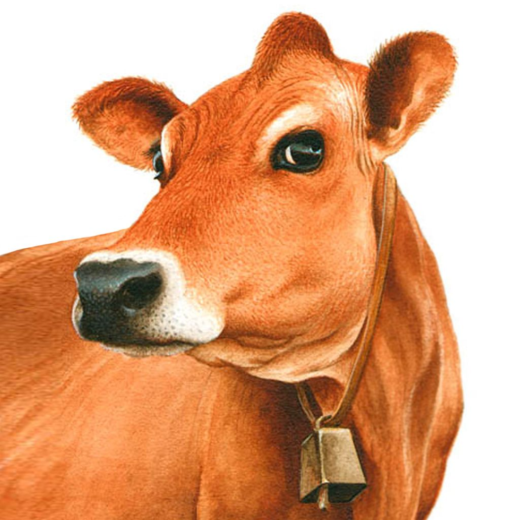 Jersey Cow Clipart.