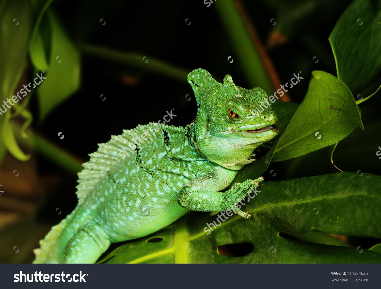 Close Green Basilisk Lizard Basiliscus Plumifrons Stock Photo.