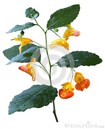 Spotted Jewelweed/Touch.