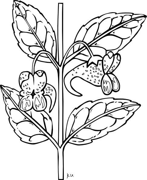 Orange Jewelweed Coloring Page Clip Art at Clker.com.