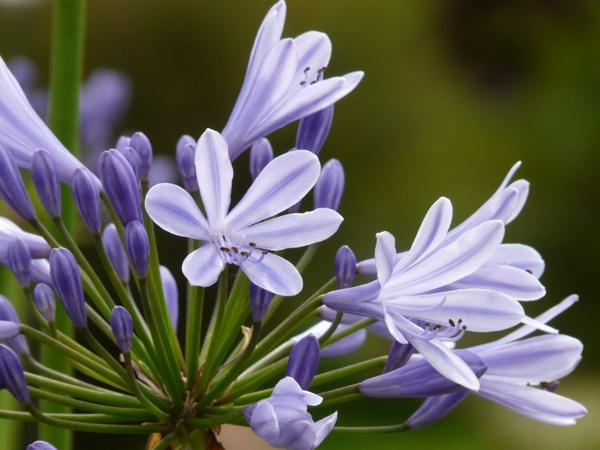 Agapanthus jewelry lilies greenhouse agapanthoideae Free stock.