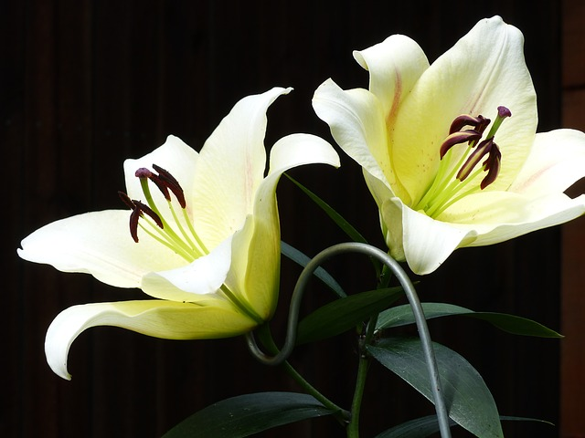 Free photo Lily Pink Bouquet Plant Lys White Lily Flowers.