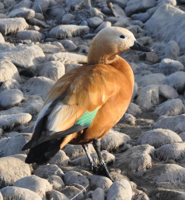 Tibet birds: Pictures of Tibetan birds.