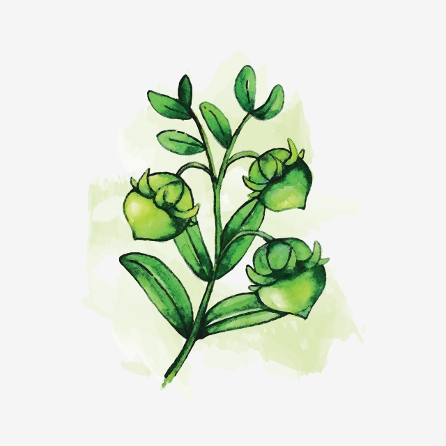 Jojoba Png, Vector, PSD, and Clipart With Transparent Background for.