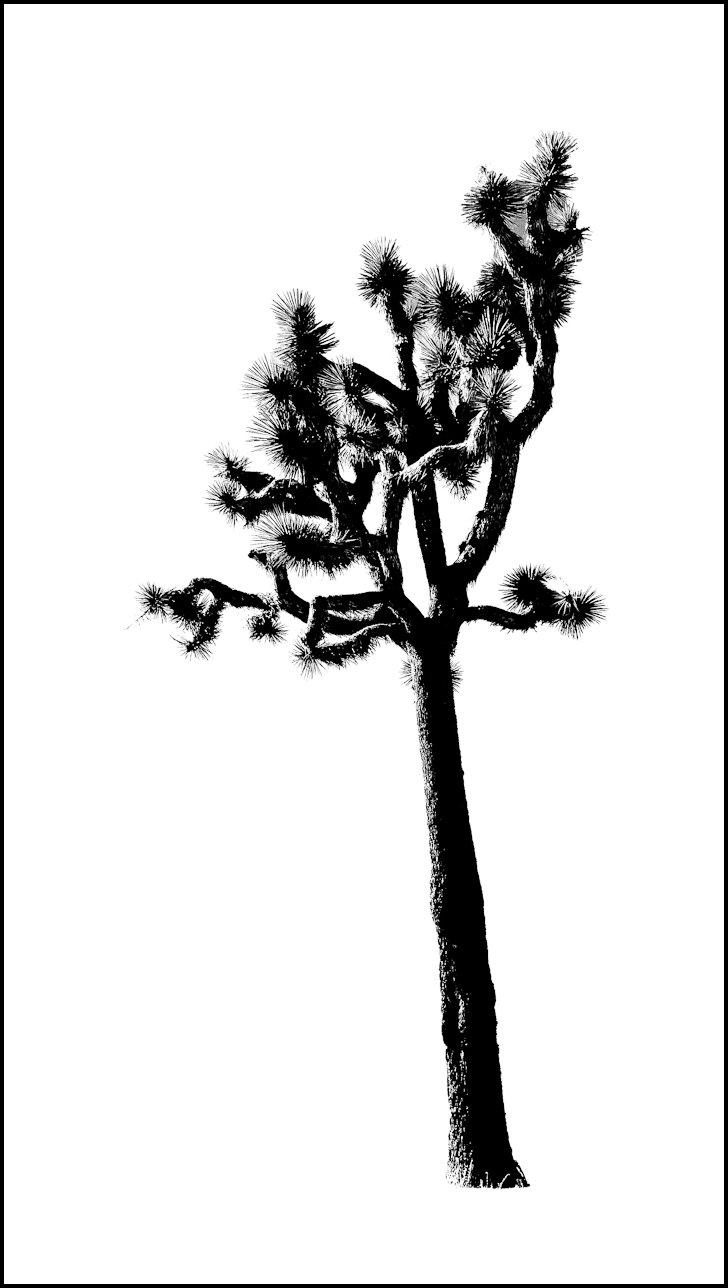 Joshua Tree in Silhouette.